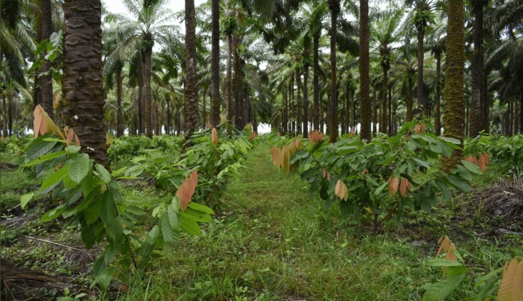 Cultivo de Cacao Fino de Aroma