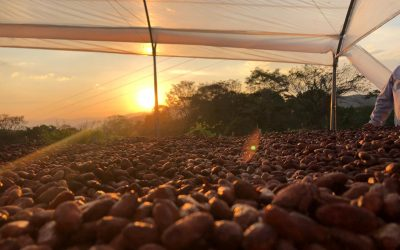 How Colombia's cocoa-growing regions are facing the COVID-19 pandemic?