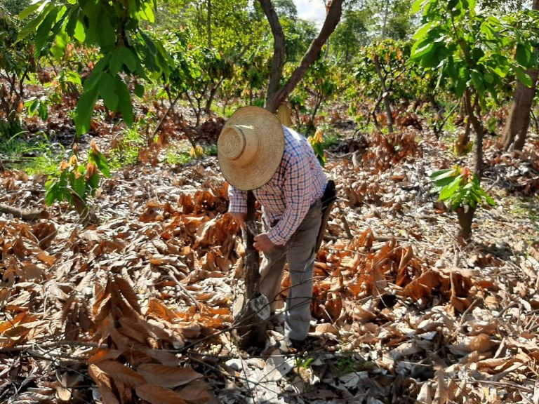 Farmer and cocoa growing
