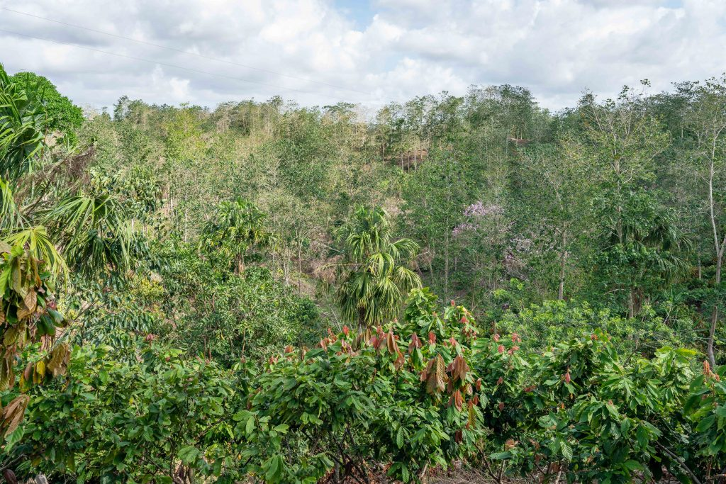 cocoa forests