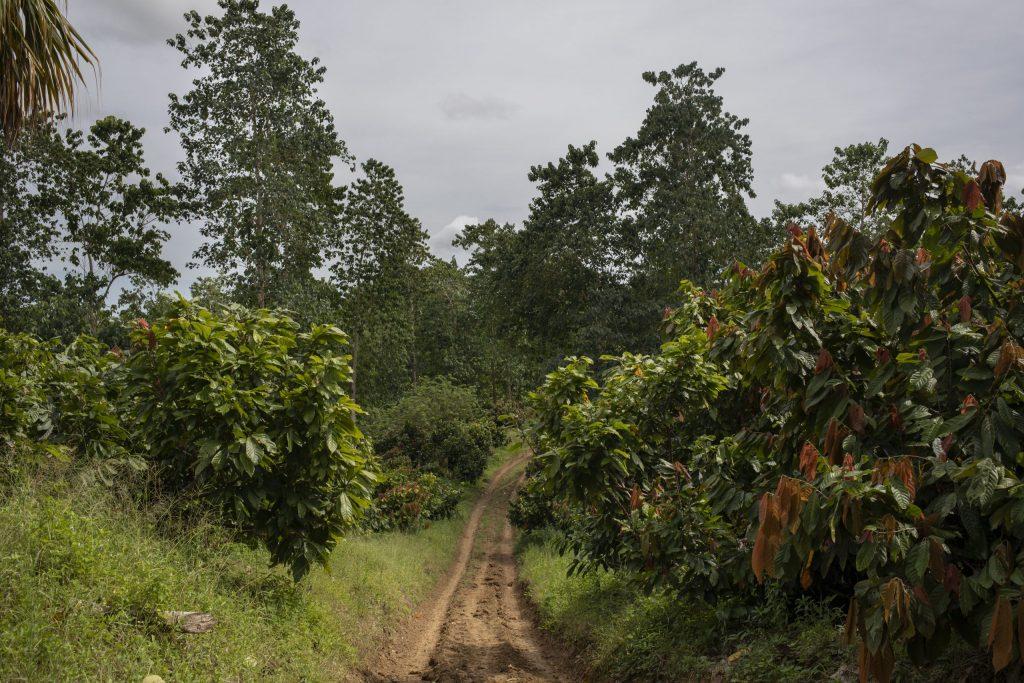 cocoa-crops