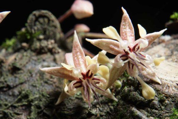 Cocoa flower.
